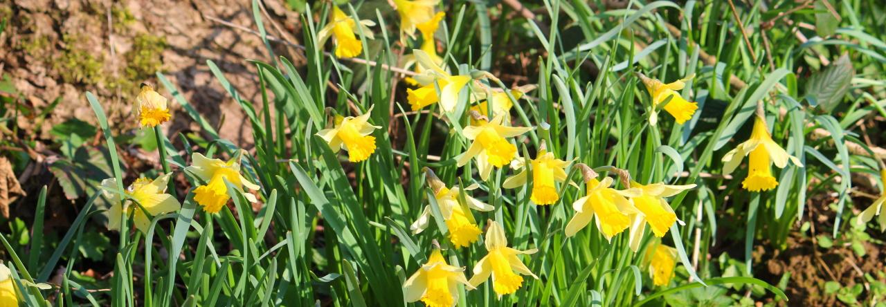 De vroege voorjaarsbloeiers