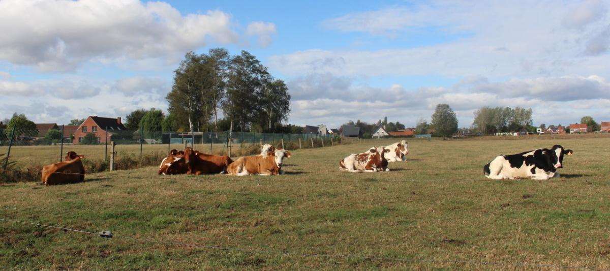 Herfst voor koeien en paddestoelen