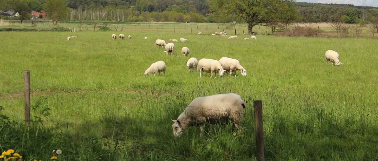 Het schaap staat in de wei