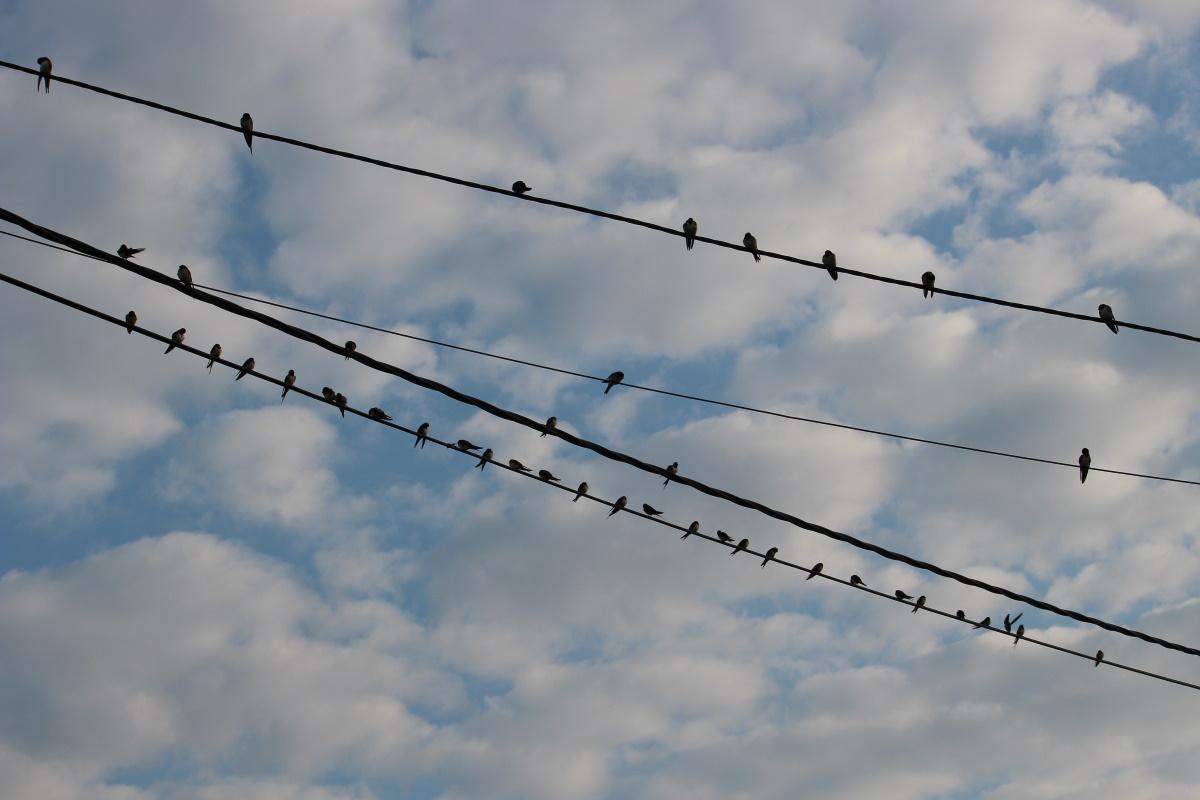 De zwaluwen